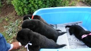 かわいい女の子たちです(~o~) フラットコーテッドレトリバーの子犬♪ 4/2...