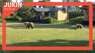 Grizzly Bear Family Roam Lodge Grounds