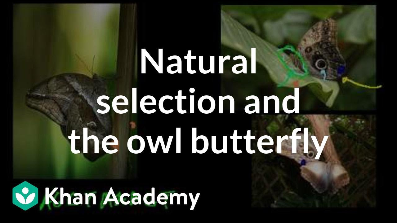Natural selection and the owl butterfly (video) | Khan Academy