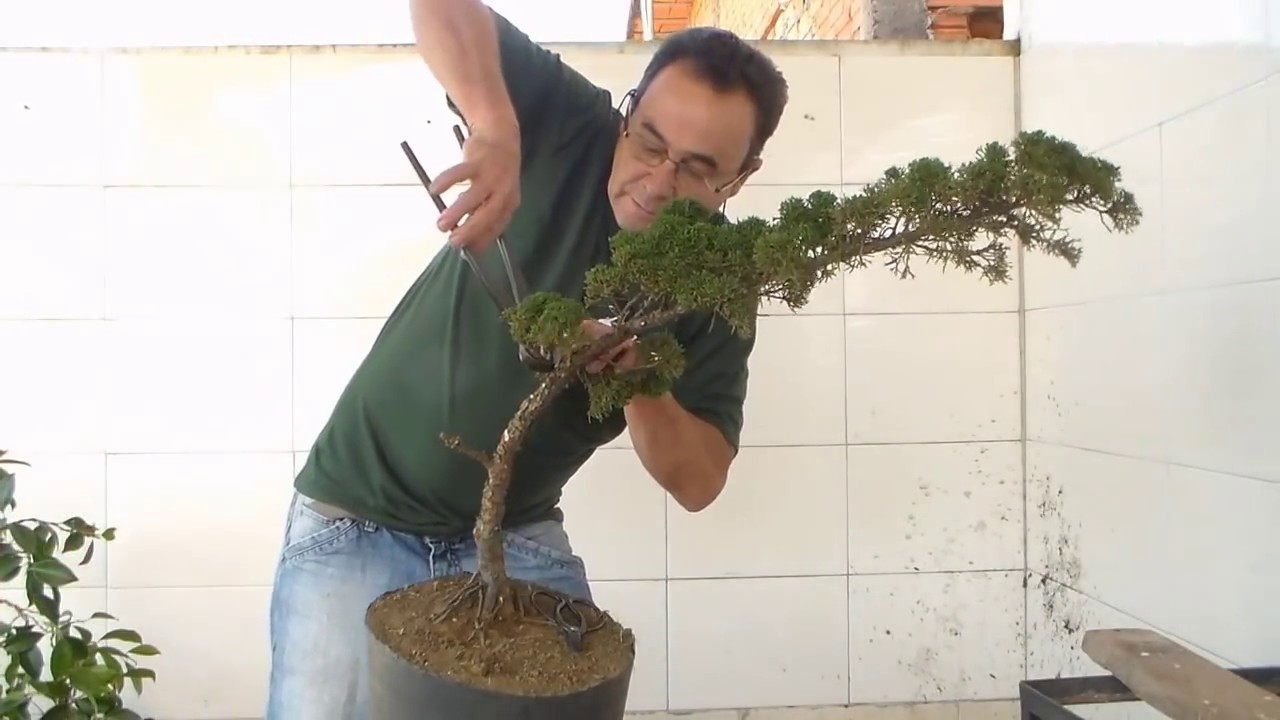 Bonsai Avar Shimpaku Pintura E Youtube Wiring Demo Premium