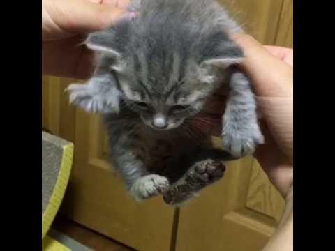 お手々が可愛い過ぎる子猫 グミちゃん・・・まさかの大ジャンプ!?
