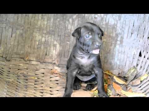 Chó con Phú Quốc