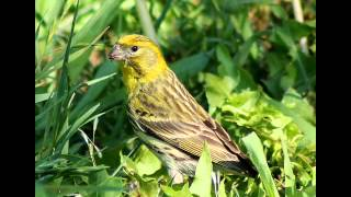 Rozpoznawanie głosów ptaków