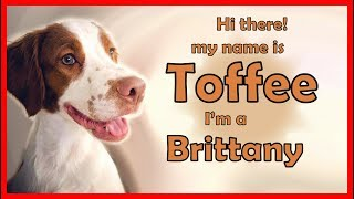 Meet my puppy Toffee | 10 traits of a Brittany Spaniel Dog | tips for dog owners