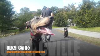 """5 Month Old Doberman Pinscher """"Axel"""" Before/After Video 