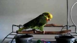 Papagei schreit wie ein Baby