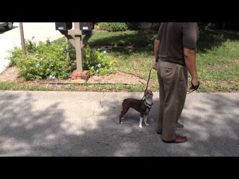 Boston Terrier - Coming When Called, Front Door and Leash Manners - Dog Training of Fort Myers