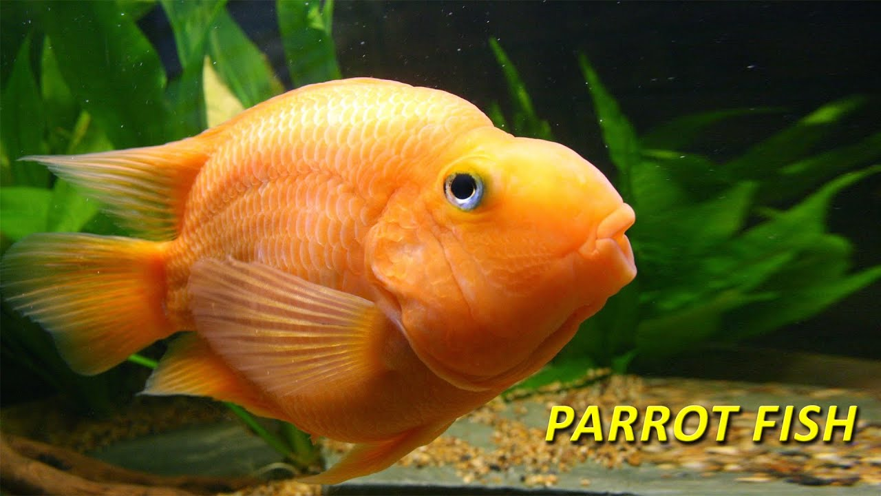 Parrot fish cichlid cichlasoma ikan kakatua youtube for Pictures of parrot fish