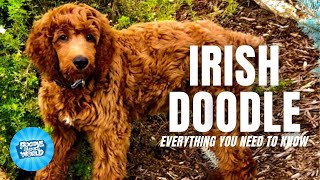 Irish Doodle Dog Breed Information  Are these dogs mischievous | Irish Doodle Dogs 101