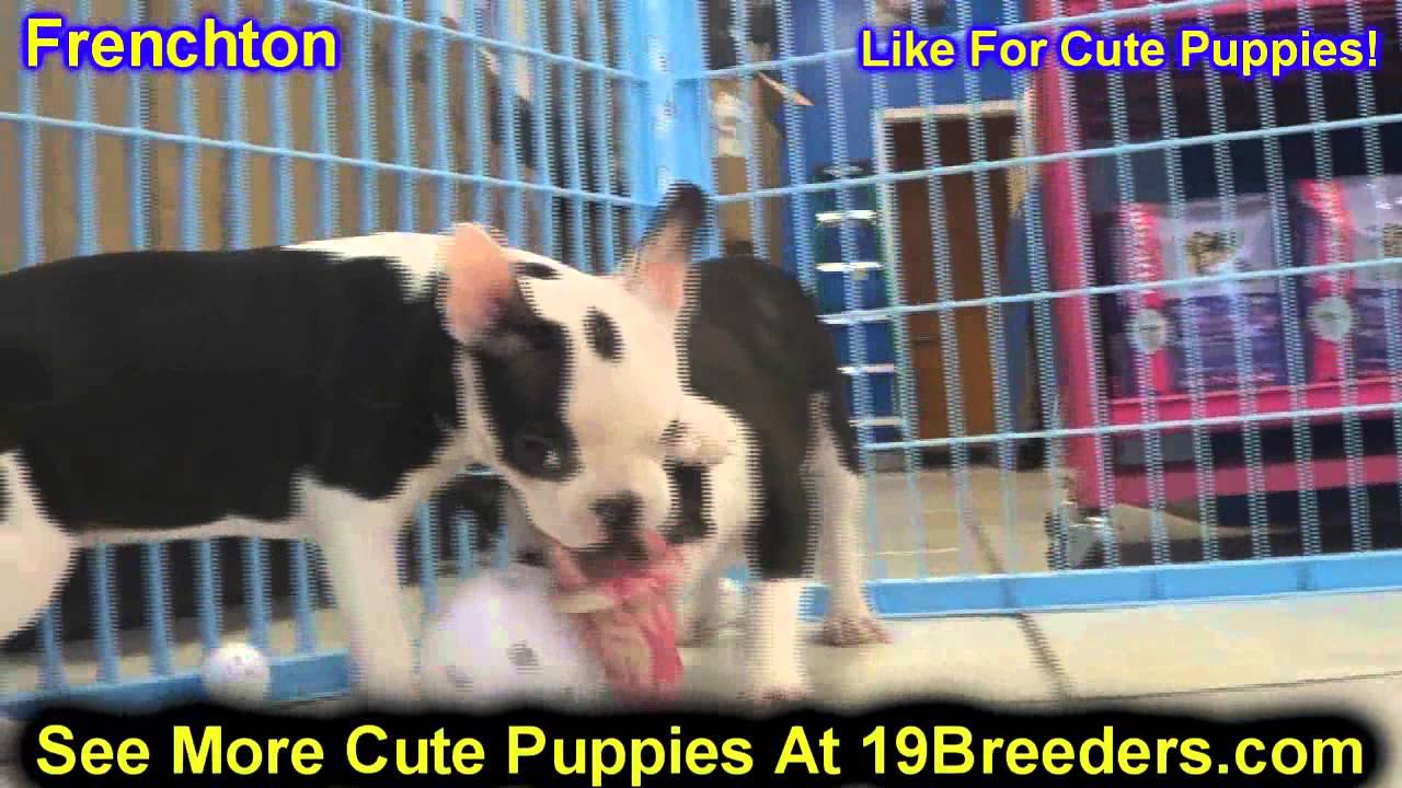 Frenchton, Puppies, For, Sale, In, Baltimore, Maryland, MD, Fort  Washington, South Laurel, Reisterst