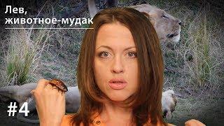 Лев, животное-мудак // Всё как у зверей #4