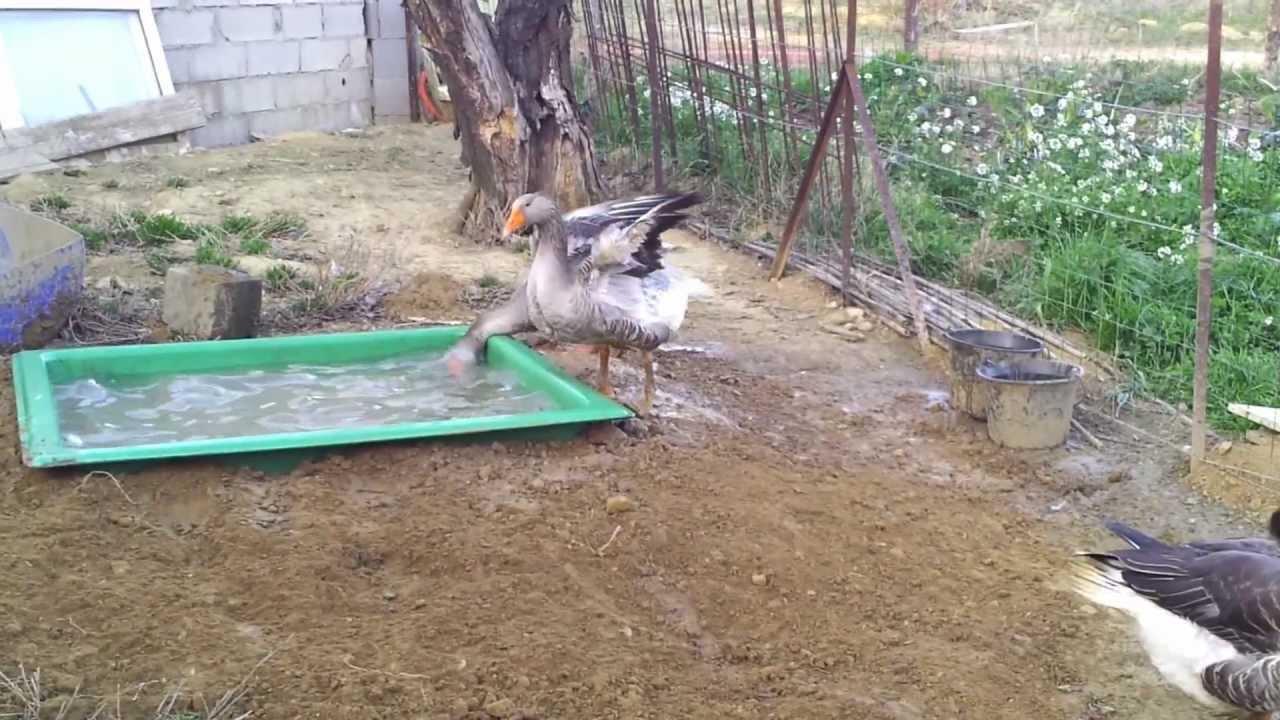 bassin de jardin pour oie