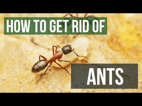 How to get rid of ants in my lawn
