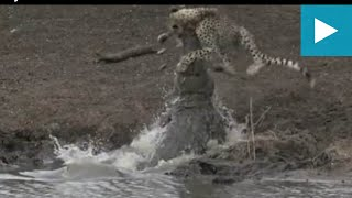 Shocking footage shows adolescent cheetah cub attacked by crocodile 925
