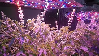 400 watt led grow light from magiove growing hydroponic basil and lettuce