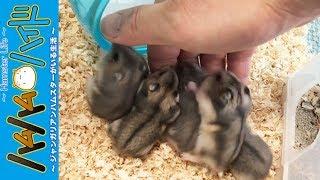 ハムスターを15匹飼っていると大変な5つのことを話しています。小さなハ...