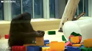 Orangutan Loves Playing With Her Blocks
