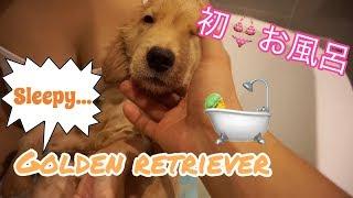 エマ、初めてのお風呂☆FIRST BATH for Emma(ゴールデンレトリーバー子...