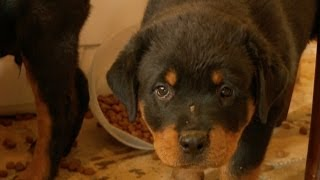 Rottweiler Puppies Make A Mess!