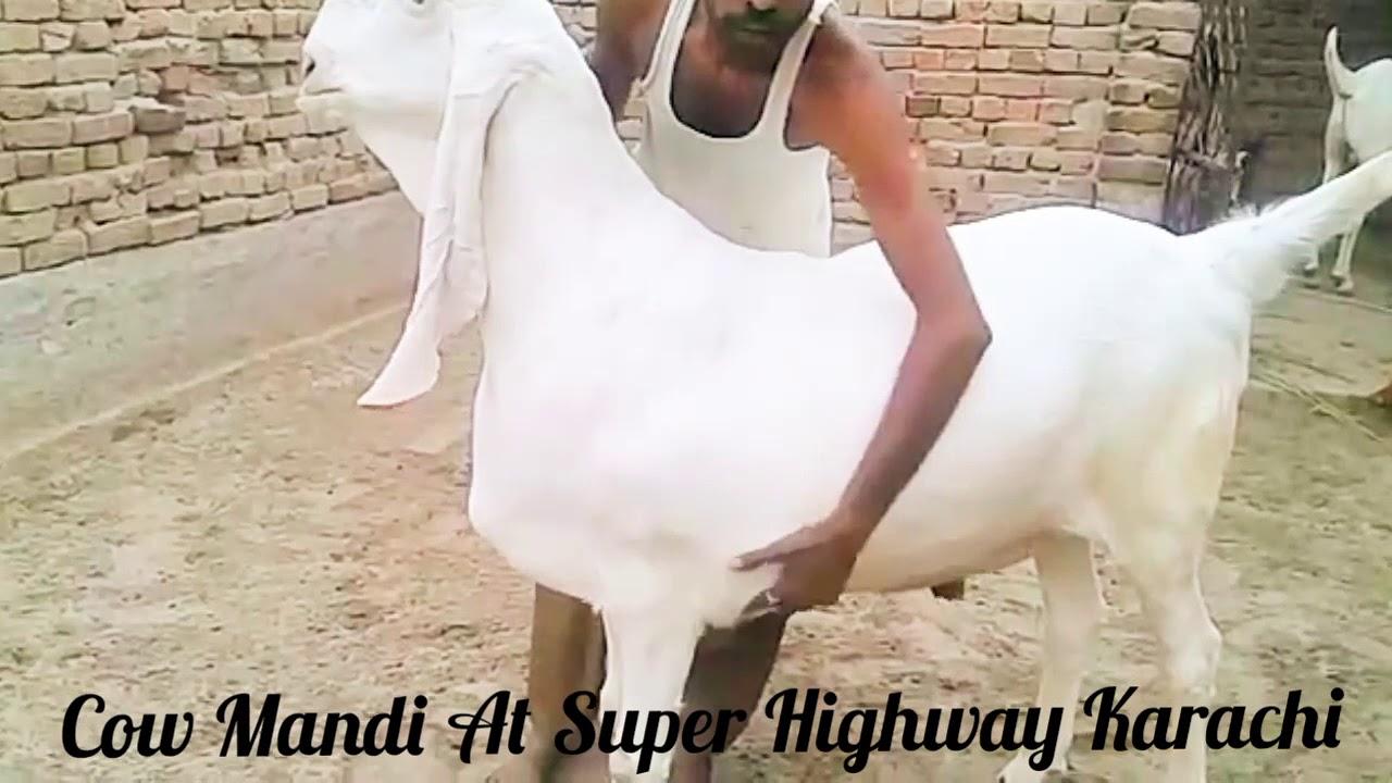 Giant Goat || Kapla Bakra || Goat || Giant || 2018