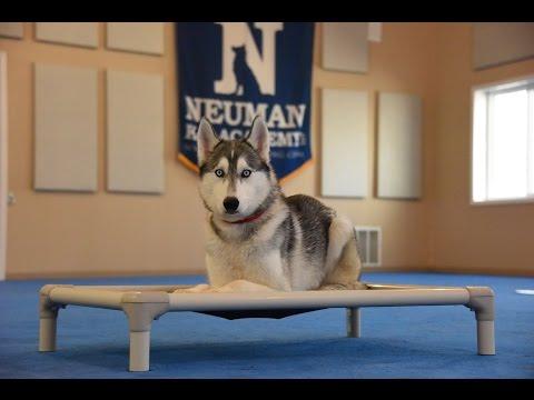 Zeus (Siberian Husky) Boot Camp Dog Training Demonstration