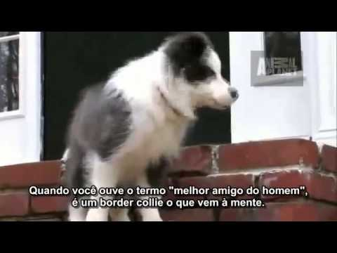 Dogs 101 Border Collie - (portuguese subs) Legendado