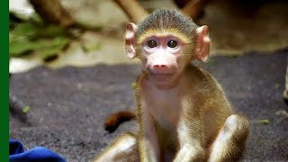 Rescued Baby Baboon Competes for Affection | Love Nature