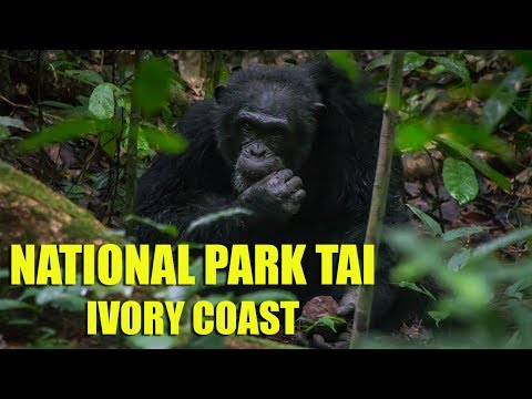 National Park Tai, Nut Cracking Chimpanzees - Ivory Coast