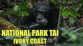 National Park Tai, Nut Cracking Chimpanzees - Ivory Coast