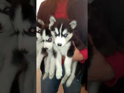 Siberian Husky Pups Available In Delhi Mumbai Bangloare Goa