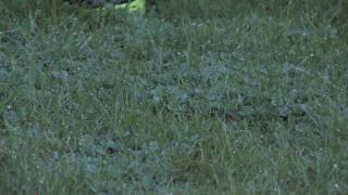 Gardening Tips & Tricks : How to Get Rid of Clover in the Lawn Organically