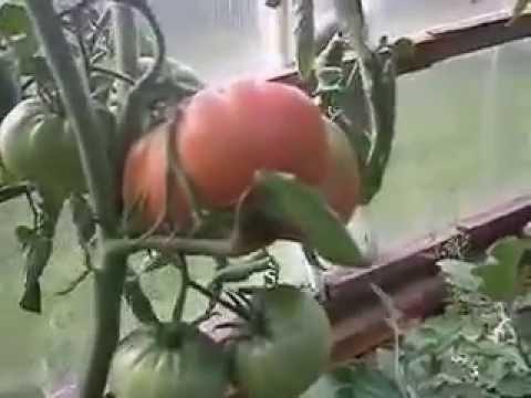 Бабушкин секрет стр 1 Каталог сортов томатов с фото
