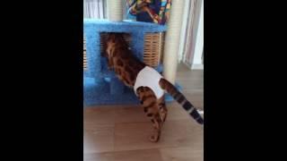 Бенгальский кот. Красавец в трусах. Как бенгальский кот метит ..