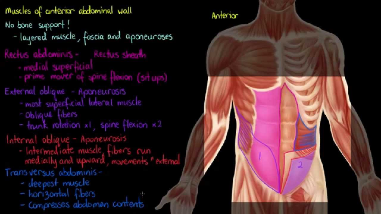 Muscles Of The Anterior Abdominal Wall Youtube