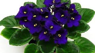 Saiba Como Cultivar Violetas Para Elas Produzirem Lindas Flores