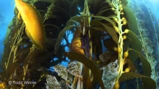 Giant Kelp Fish in 4k