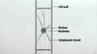 Single Cell of Spirogyra - DM - Class 9
