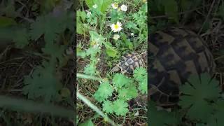 """Testuggine di Hermann"" in Natura - ""Hermann's Tortoise"" in the wild"