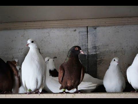 Содержание пермских высоколётных голубей. Второй питомник