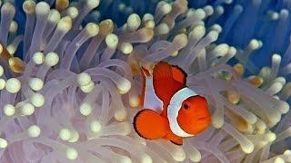 видео Рыба-клоун (амфиприон): описание и особенности жизненного цикла