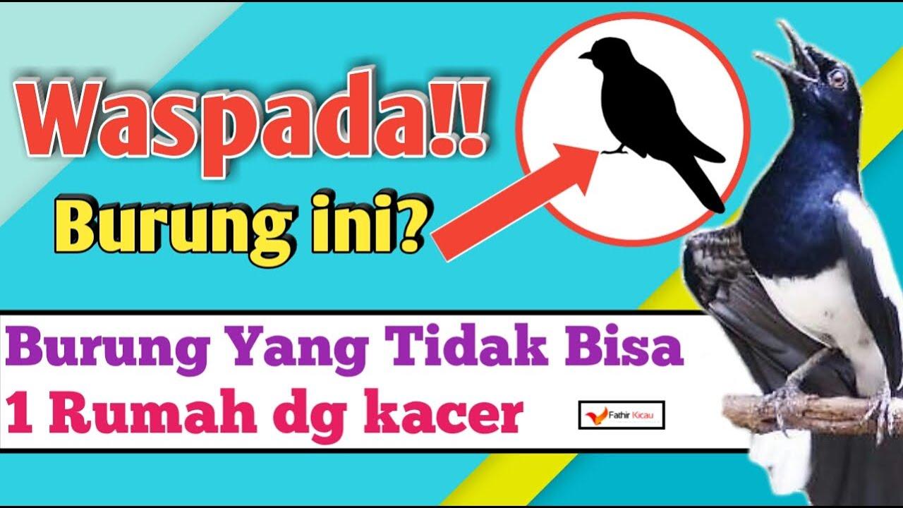 Burung Yang Tidak Boleh Dekat Dengan Kacer Dalam Satu Rumah Youtube