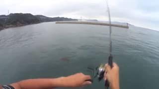 今回も淡路島での釣行です。 今回は餌木猿3.5号を使用しました。