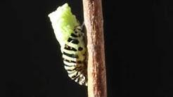 Ritariperhosen toukka luo nahkansa ja koteloituu