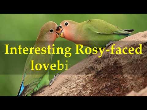 Interesting Rosy faced lovebird Facts