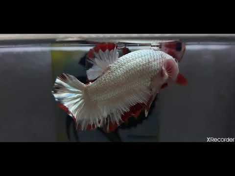 Ikan Cupang Nemo Cooper Youtube