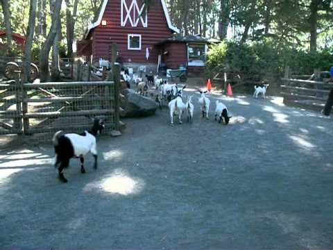 The Running of the Goats at Beacon Hill Park Sept 9, 2007.MOV