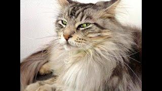 Кошка Мейн кун.