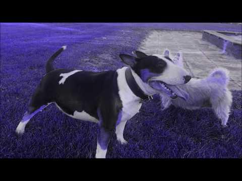 Miniature Bull Terrier mit seiner Freundin Unterwegs