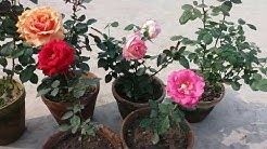 How to care Rose Plant (HINDI)