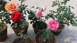 how to care rose plant hindi